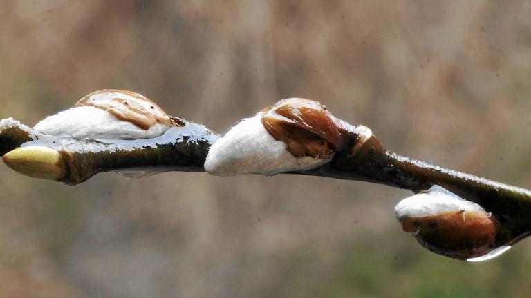 Bazie kwitnące na wierzbie. Zdjęcie zrobione w Bielsku-Białej 30 grudnia 2011 r.