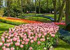 Holandia wiosn�. Keukenhof - P�on�ce Serce w kuchennym ogrodzie