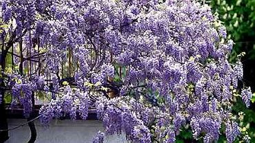 Prawidłowo prowadzona glicynia (<i>Wisteria</i>) kwitnie bardzo obficie.