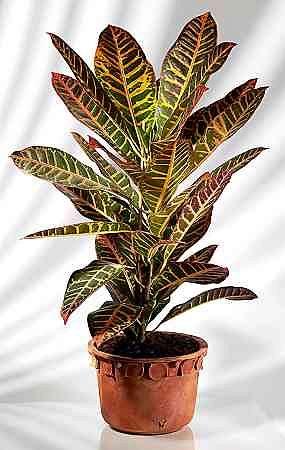 Kroton domowy (Codiaeum) i kroton ogrodowy czyli aukuba japońska (Aucuba japonica). Pielęgnacja i uprawa