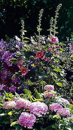 Malwy sadzone są zazwyczaj przy płotach i ścianach budynków, doskonale wyglądają też w kompozycjach z innymi roślinami. Na tej rabacie zestawiono ją z hortensją ogrodową i powojnikiem.
