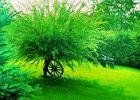 Wierzba (Salix)