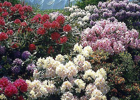 Rododendrony odporne na mr�z najlepiej posadzi� na rabacie z innycmi r�anecznikami i azaliami. Na prze�omie maja i czerwca tworz� bajeczne widowisko w ogrodzie.