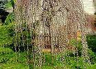 Wierzba iwa (salix caprea) 'Kilmarnock' - odmiana męska, bardzo często mylona z żeńską 'Pendula'. Najpiękniej wygląda w marcu, kiedy obsypana jest złocistymi baziami, które pojawiają się na długo przed liśćmi. Ma ona również ciekawy pokrój.