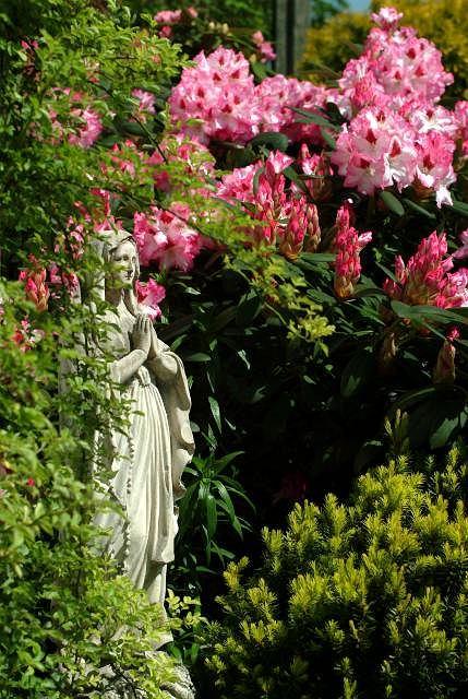 Opiekunka ogrodu, a w tle imponujący różanecznik 'Hachmann's Charmant'