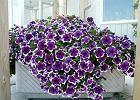 Kwiaty na balkon. Te ro�liny polecaj� nasi czytelnicy.