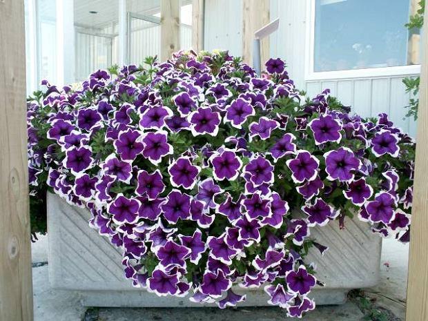 balkonplanten petunia's
