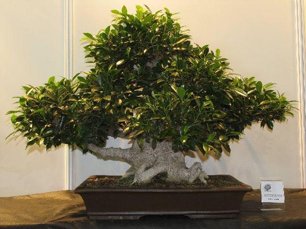 Bonsai - kieszonkowe drzewko