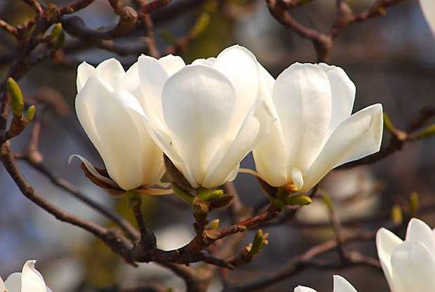 Magnolia naga jest 10-15-metrowym drzewem. Kwiaty pachn�ce cytryn� ukazuj� si� w kwietniu. W m�odym wieku mo�e przemarza�.