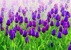 Tulipany nowe odmiany