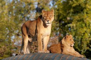 Można uczestniczyć w karmieniu lwów. Niezwykła atrakcja (nie tylko) na majówkę