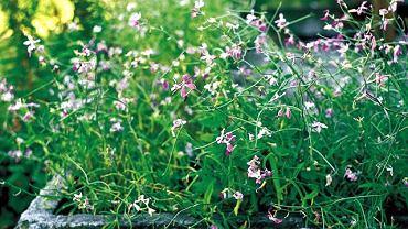 KWIATY NA BALKON. Maciejka lubi słońce i sucha glebę. Kaiwaty ma niepozorne, ale za to jak pachną!