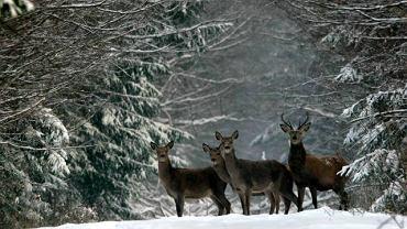 Podglądanie zwierząt leśnych