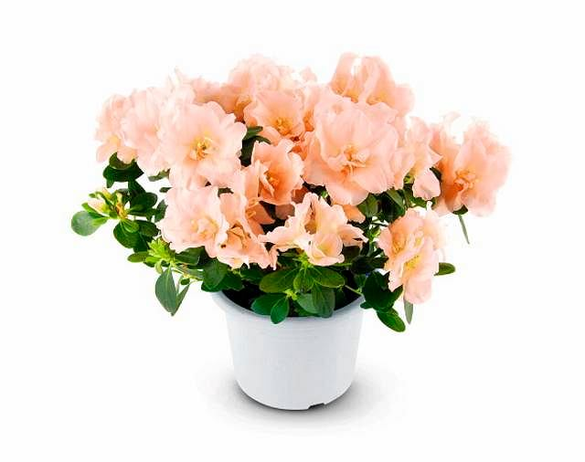 Azalie. Odmiany o łososiowych kwiatach należą do rzadkości. Ta na zdjęciu jest półpełna