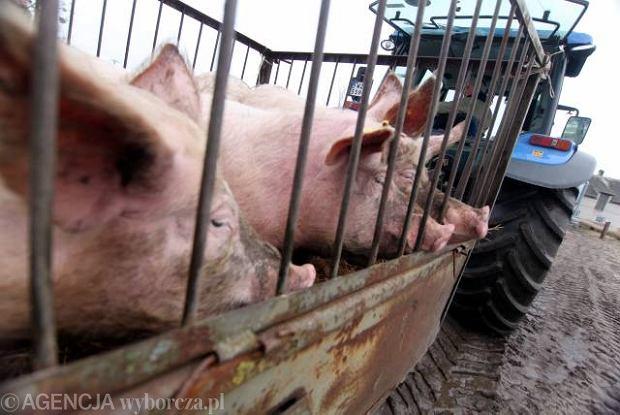 Rosja ogranicza import wieprzowiny, bo ma du�o w�asnych �wi�