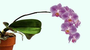 storczyk falenopsis