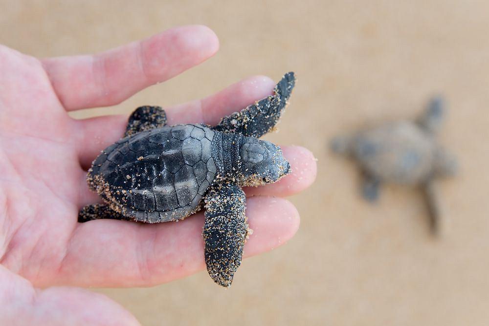 Żółwik morski z gatunku karetta / shutterstock