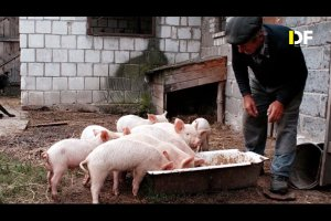 Niemcy i Holendrzy karmią świnie żelkami. Ale Putinowi to nie przeszkadza