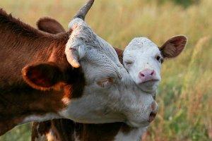 Bia�oru� znios�a zakaz importu byd�a z pa�stw UE, w tym z Polski
