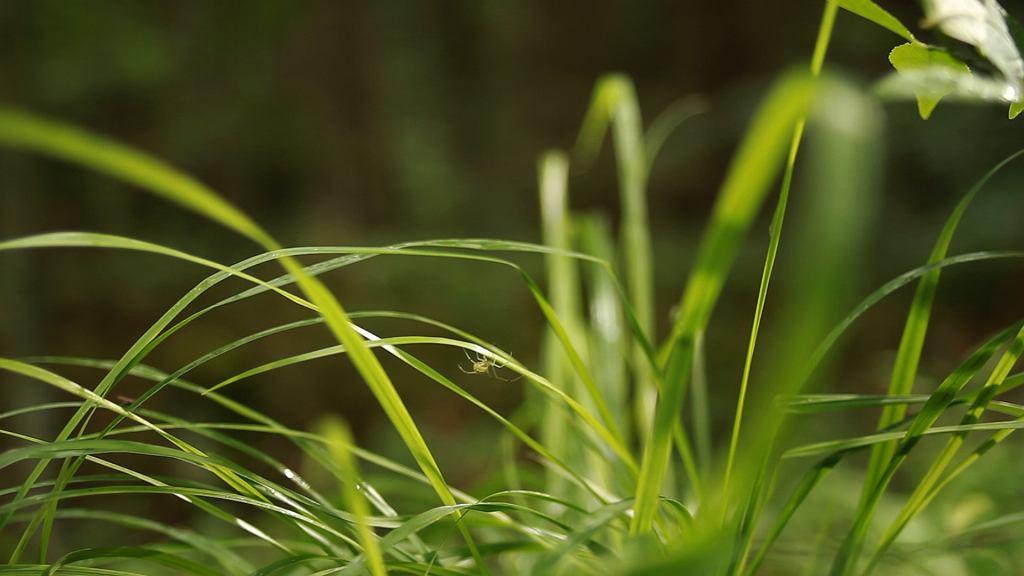 Roślina ta rośnie wyłącznie dziko, w naturalnych warunkach. Nie da się jej uprawiać w wybranym miejscu.