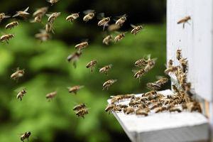 Już wiemy, dlaczego masowo giną pszczoły?