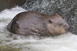 27 tys. bobrów przeznaczonych do odstrzału. Urzędnicy nie chcą płacić rolnikom odszkodowań