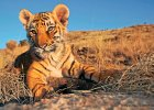 Na ratunek tygrysom. Poprzyj akcję WWF, zanim będzie za późno