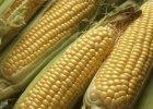 Wod�r mo�na tanio produkowa� z kukurydzy - twierdz� naukowcy