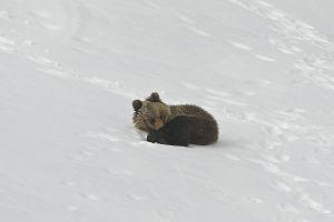 Można było uratować niedźwiadka z Kasprowego? Skawiński: Nie ingerujmy w przyrodę