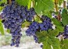Jak zrobić wino z winogron? Bardzo prosty przepis dla początkujących winiarzy