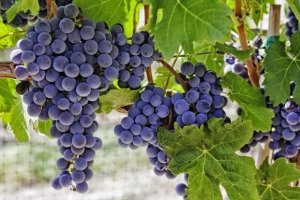 Winogrona - kalorie