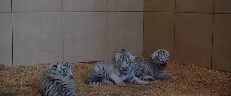 W Zoo Safari w Borysewie urodziły się cztery białe tygrysy. To światowy ewenement