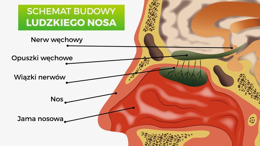 Budowa Nosa Z Czego Zbudowany Jest Nos Jak Dziala I Jakie Pelni