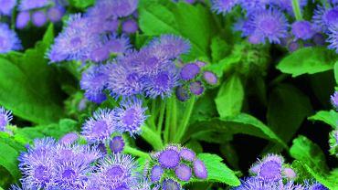 Postrachem komarów są rośliny o specyficznym, silnym zapachu, wytwarzające olejki eteryczne.