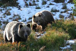 Jakich niedźwiedzi nam w Polsce potrzeba? Dzikich