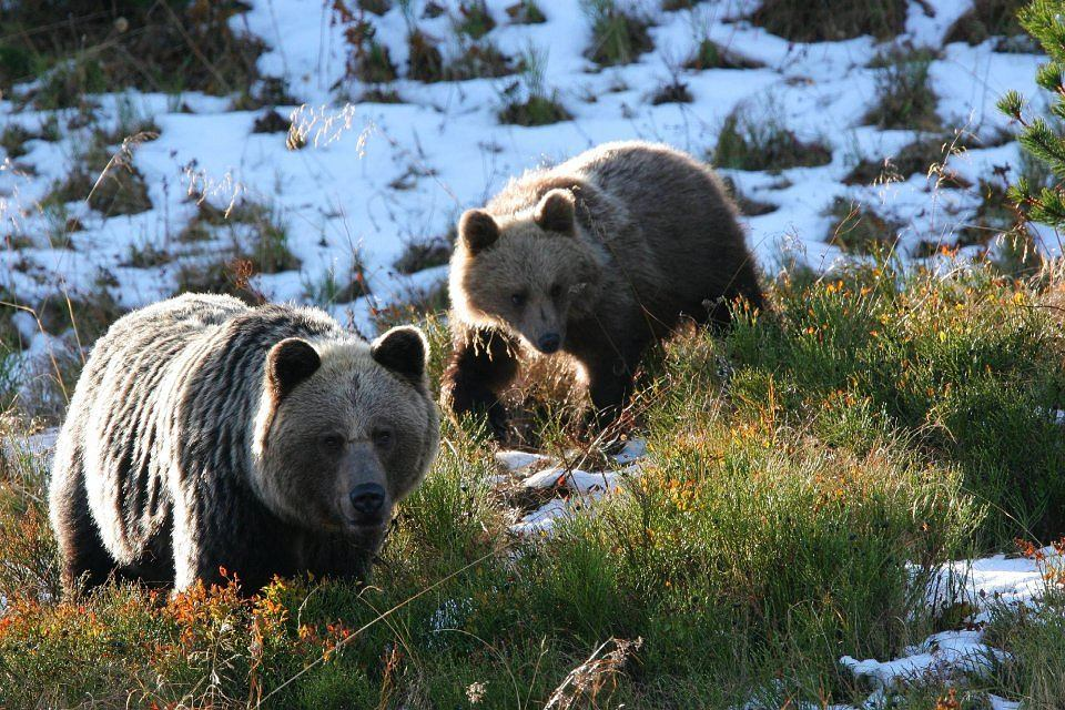 Niedźwiedzie brunatne w Tatrach