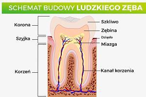 Budowa zęba. Z czego składa się ząb i jakie funkcje pełnią jego poszczególne elementy?