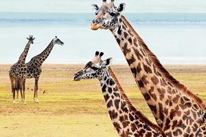 Ciekawostki naukowe. Nowe gatunki żyraf, ubrania groźniejsze od terrorystów i neurony, które odpowiadają za radość z cudzego nieszczęścia