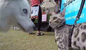 Co się stanie, gdy na wystawie psów pojawi się kot? Nie to, czego się spodziewacie.