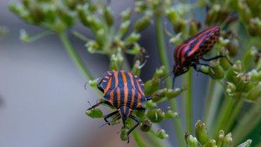 Ciepłolubne strojnice są bardzo pięknymi owadami, które niektórym przypominają barwy piłkarzy AC Milan.