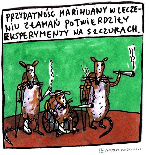 Raczkowski o medycznej marihuanie -  -