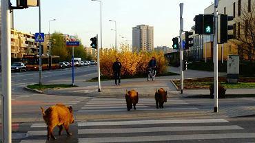 Dziki przechodzą przez Malborską na Bródnie