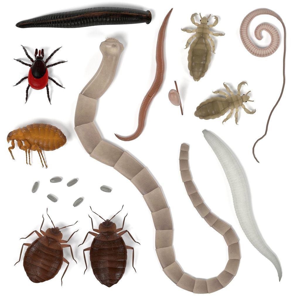 Pasożyty w organizmie człowieka: jakie pasożyty wewnętrzne możemy mieć?