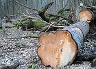 Atak na Puszcz� Bia�owiesk� trwa. Wi�ksza wycinka w najcenniejszych bia�owieskich lasach