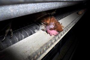 Na taśmociągu głowa martwej kury. A tuż obok w równym rządku płyną jajka