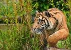 Czytanie jak tygrys