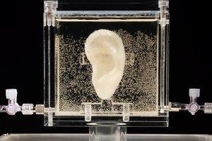 Artystka wyhodowa�a ucho van Gogha. Ucho wysz�o jak �ywe. Mo�na do niego nawet m�wi�