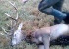 My�liwi zn�caj� si� nad postrzelonym jeleniem. Internauci zg�aszaj� spraw� do prokuratury