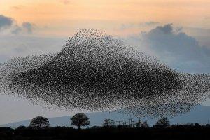 Podniebny spektakl dziesi�tek tysi�cy szpak�w. Naukowcy pr�buj� zrozumie�, dlaczego ptaki to robi�