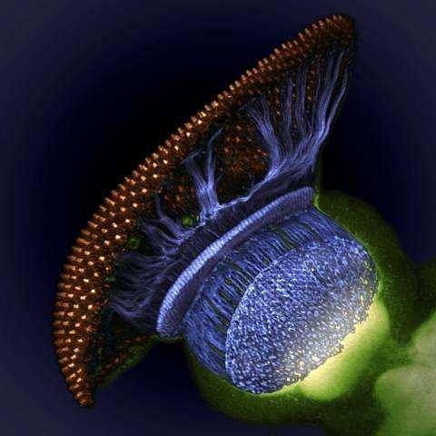 4. miejsce - przekr�j oka muszki owoc�wki - od zabarwionej na z�oto siatk�wki, przez niebieskie aksony nerw�w wzrokowych po ostateczny organ odpowiedzialny za widzenie, czyli m�zg (w kolorze zielonym) Fot.  dr. W. Ryan Williamson, Howard Hughes Medical Institute (HHMI), Ashburn, Virginia, USA